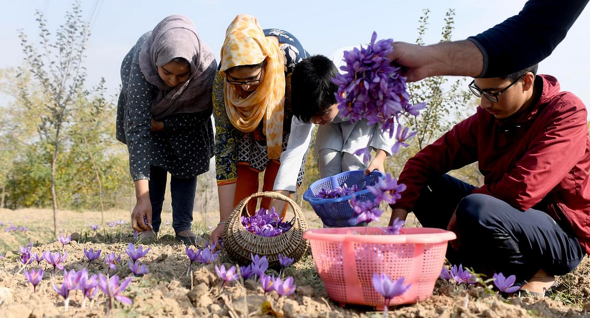 Kashmir's Saffron Fields Are Shrinking Fast & So Is The Produce