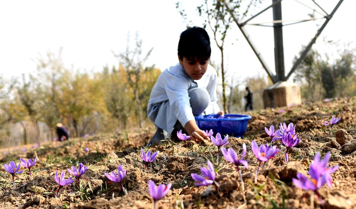 NECTAR to explore saffron farming in north east region