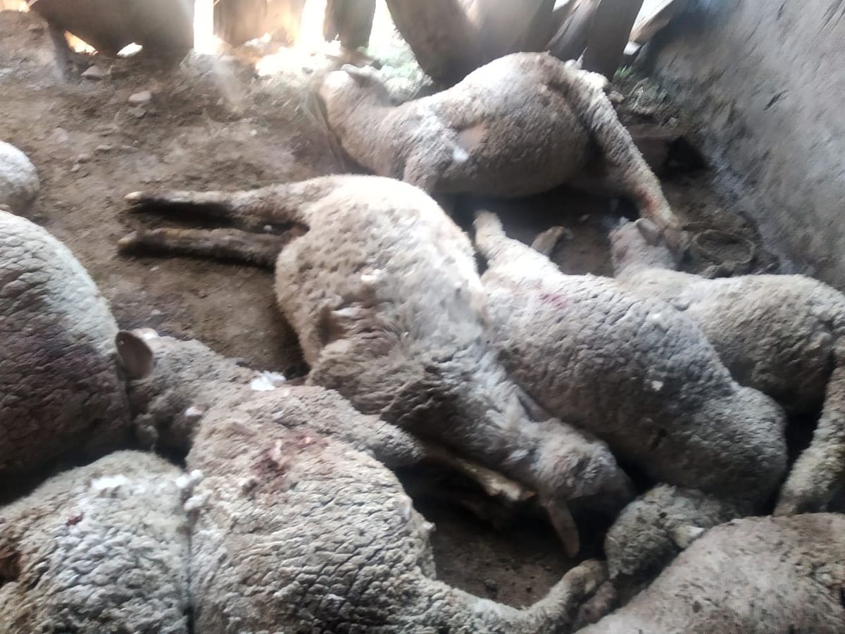 40 sheep and goats killed in attack by leopards in J&K's Ramban
