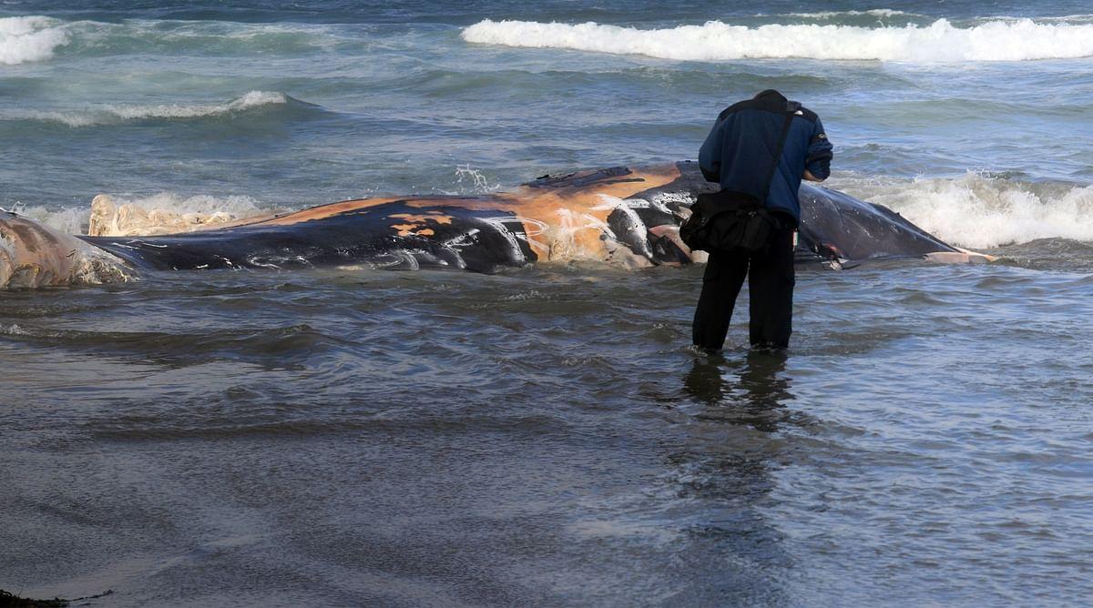 Sri Lanka rescues over 100 stranded whales