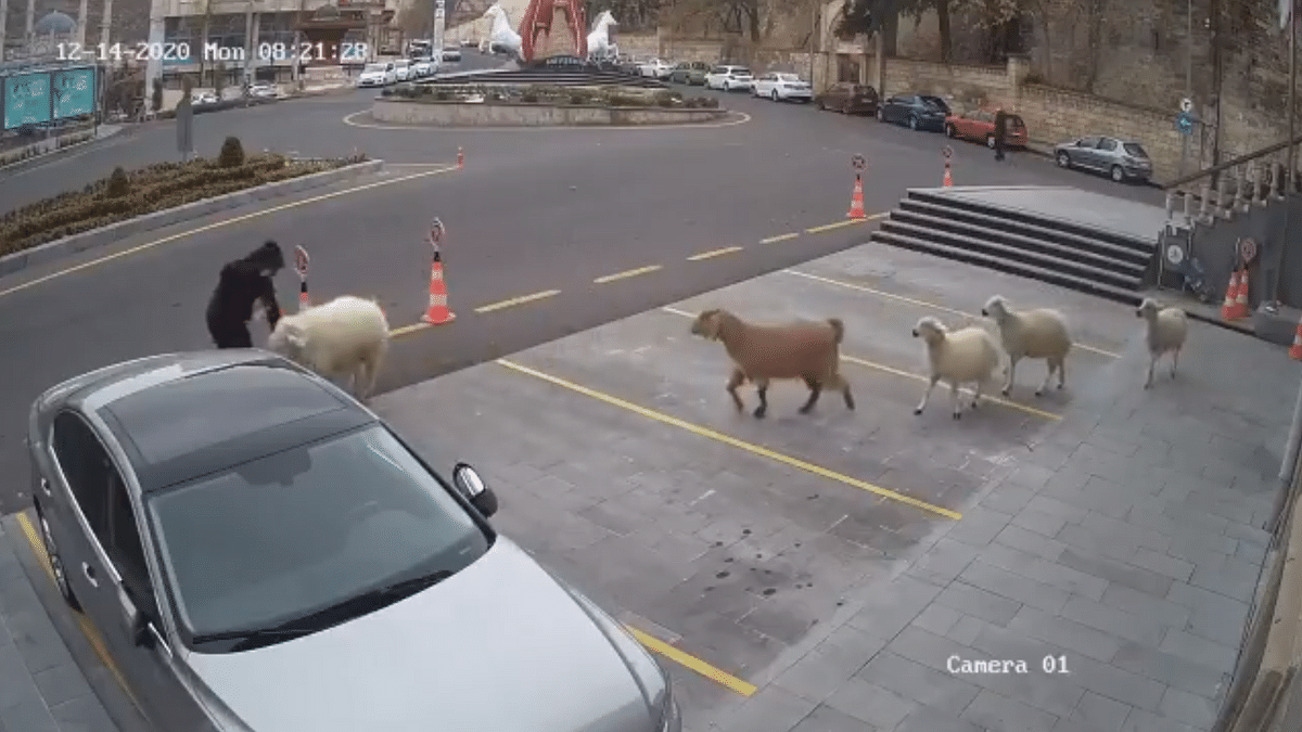 Watch: Turkish city taken hostage by sheep and goats