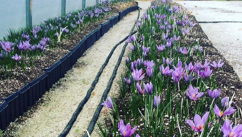 Indoor saffron farming with special reference to hydroponic system