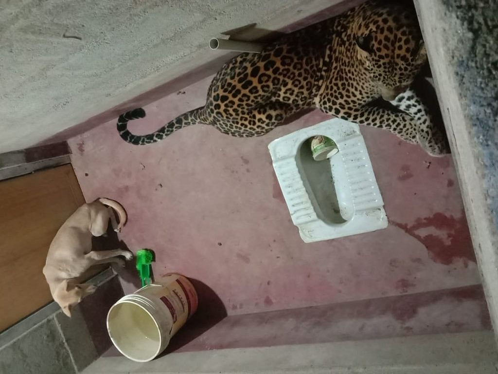 Stuck with a leopard in toilet for hours, dog comes out unhurt