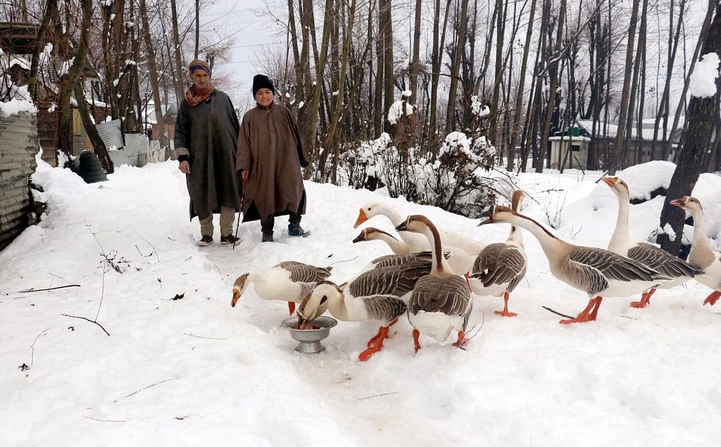 Bird Flu reported among domestic geese in north Kashmir's Bandipora