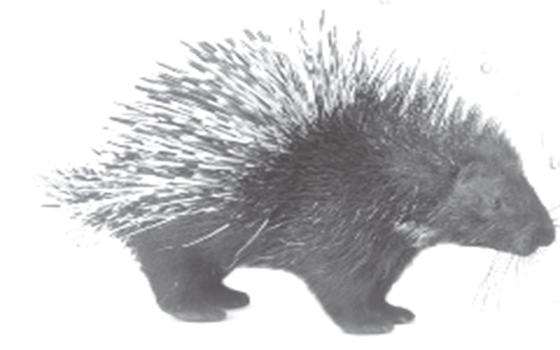 Porcupines damage orchards in Kashmir, farmers worried