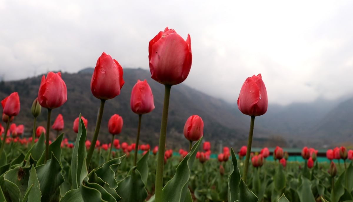 5-day Tulip festival to begin from April 3