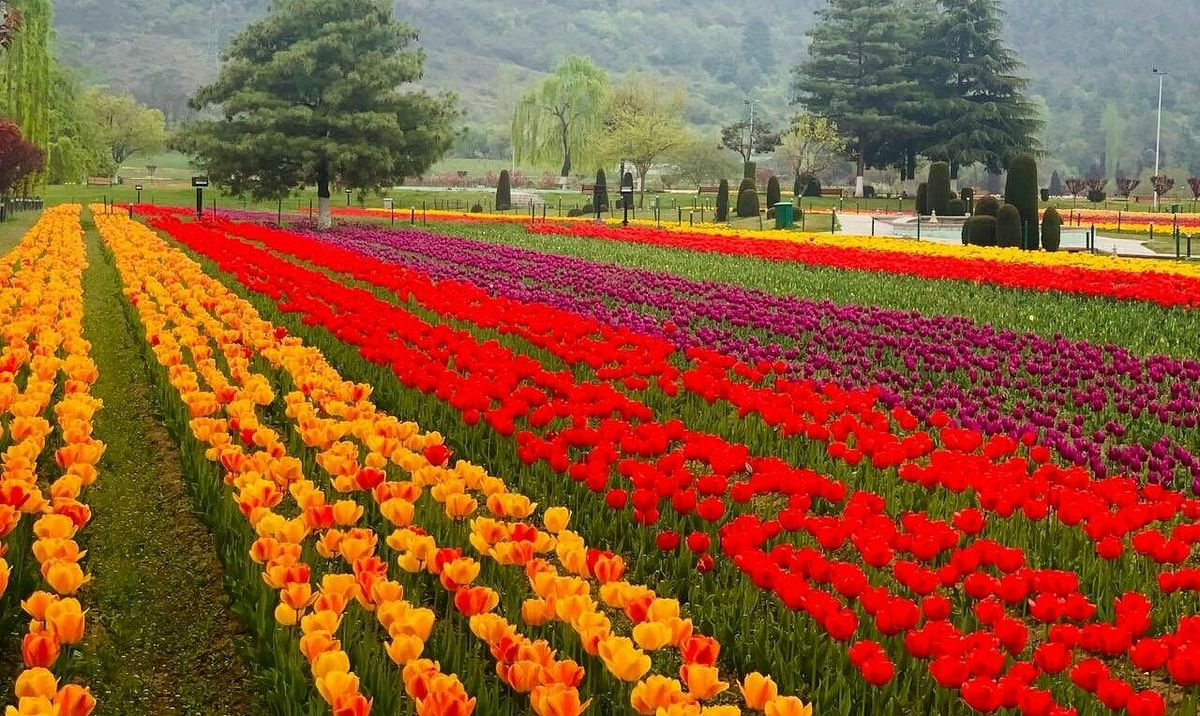PM Modi appeals people to visit Kashmir Tulip Garden on opening day