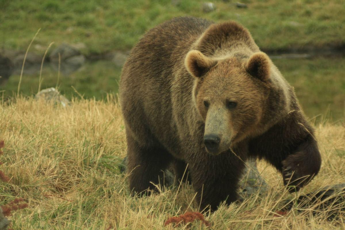 40-year-old Sopore man injured in bear attack