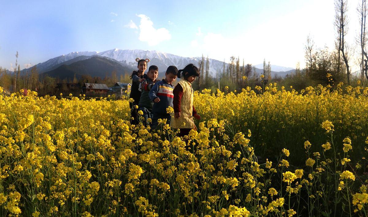 In Frames: Mustard Bloom Turns Kashmir Yellow