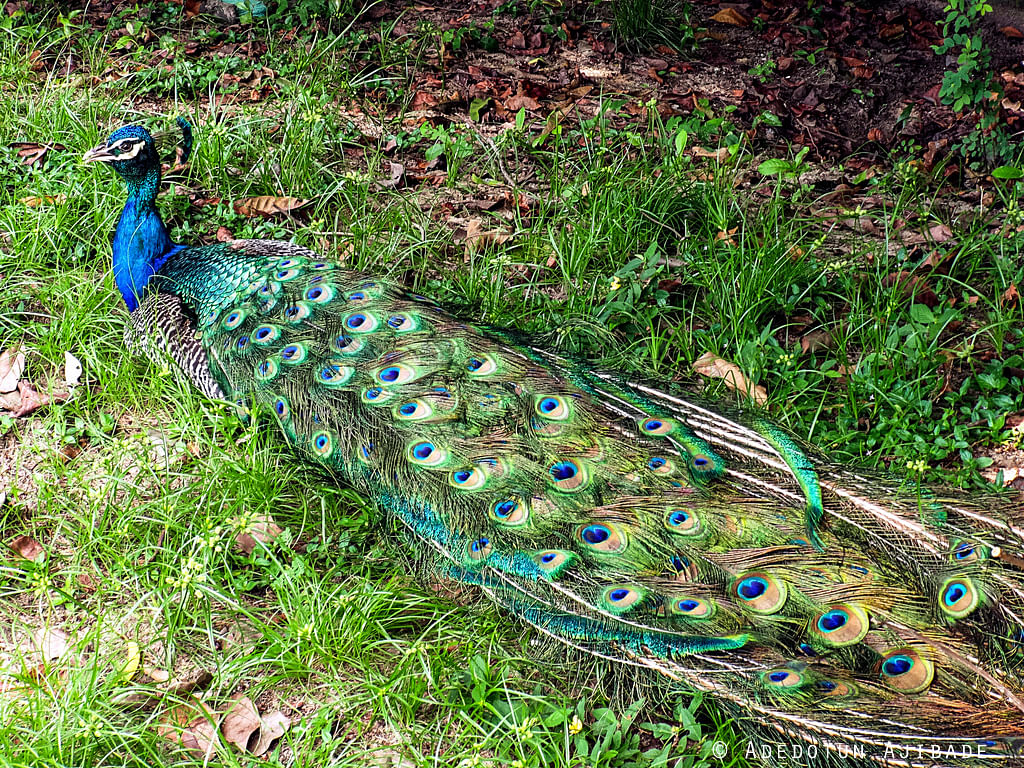A Peacock at the Lekki Conservation Centre
