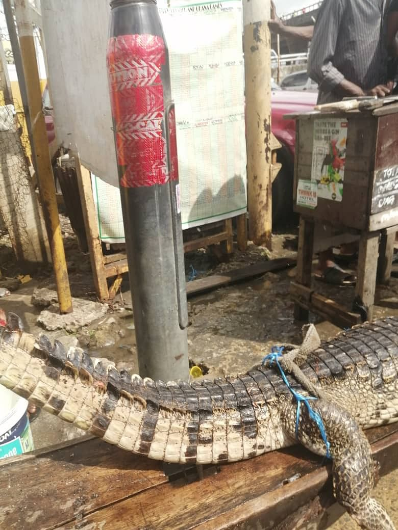 Three Large Crocodiles Spotted at Ebute-Ero Market