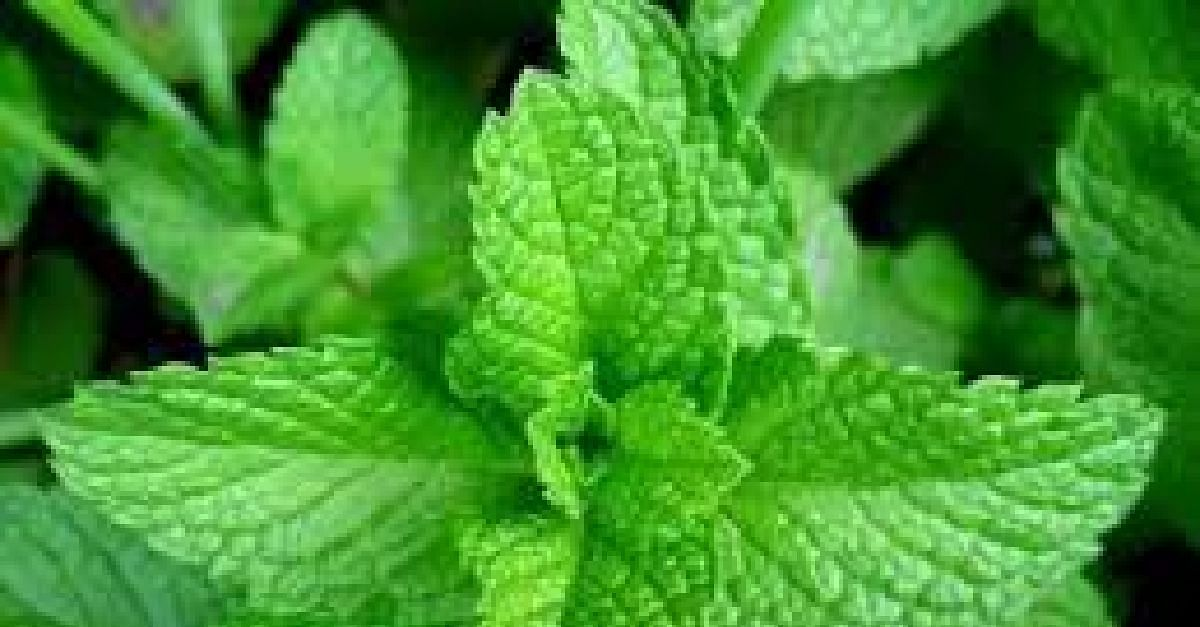 6 Health Benefits Of Scent Leaves