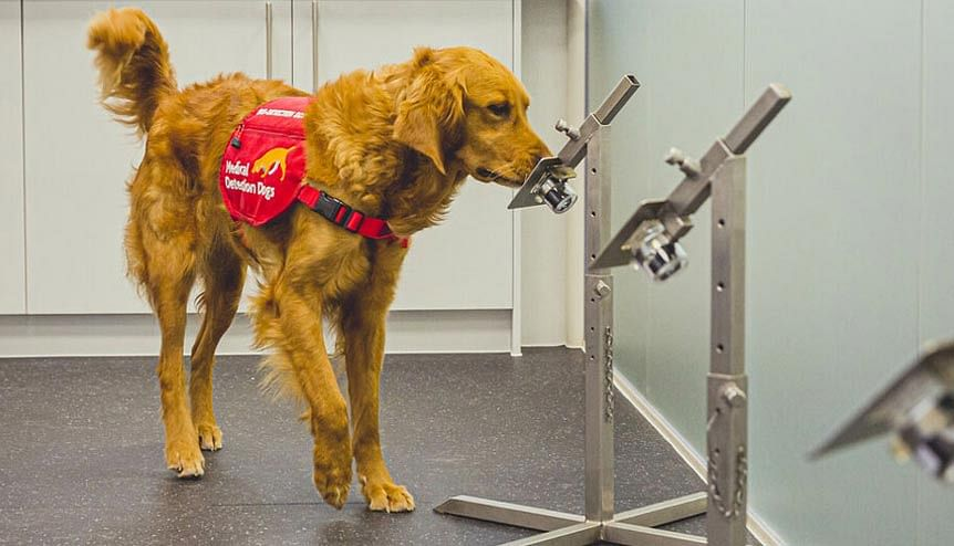 Could trained dogs help sniff out Covid-19 infections in future?