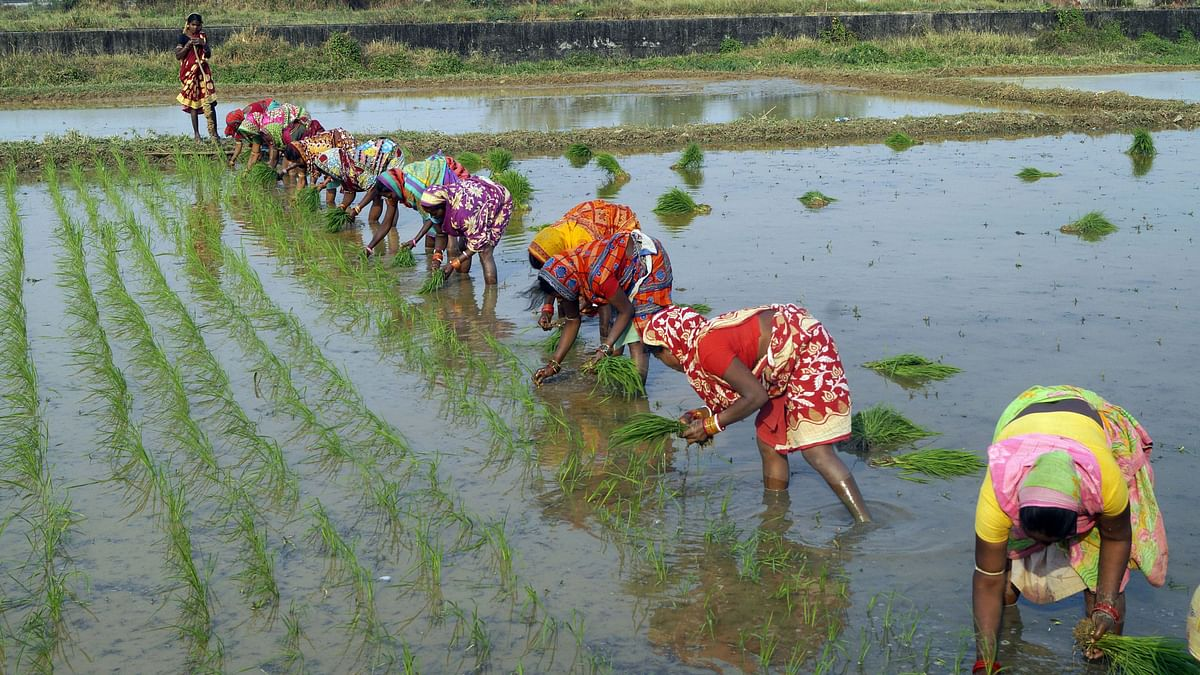 Women planting paddy samplings at an agriculture research field. Rural India, buoyed by a good monsoon and a flattering harvest season, has been at the forefront of securing farm loans which have already crossed the $14 billion mark.