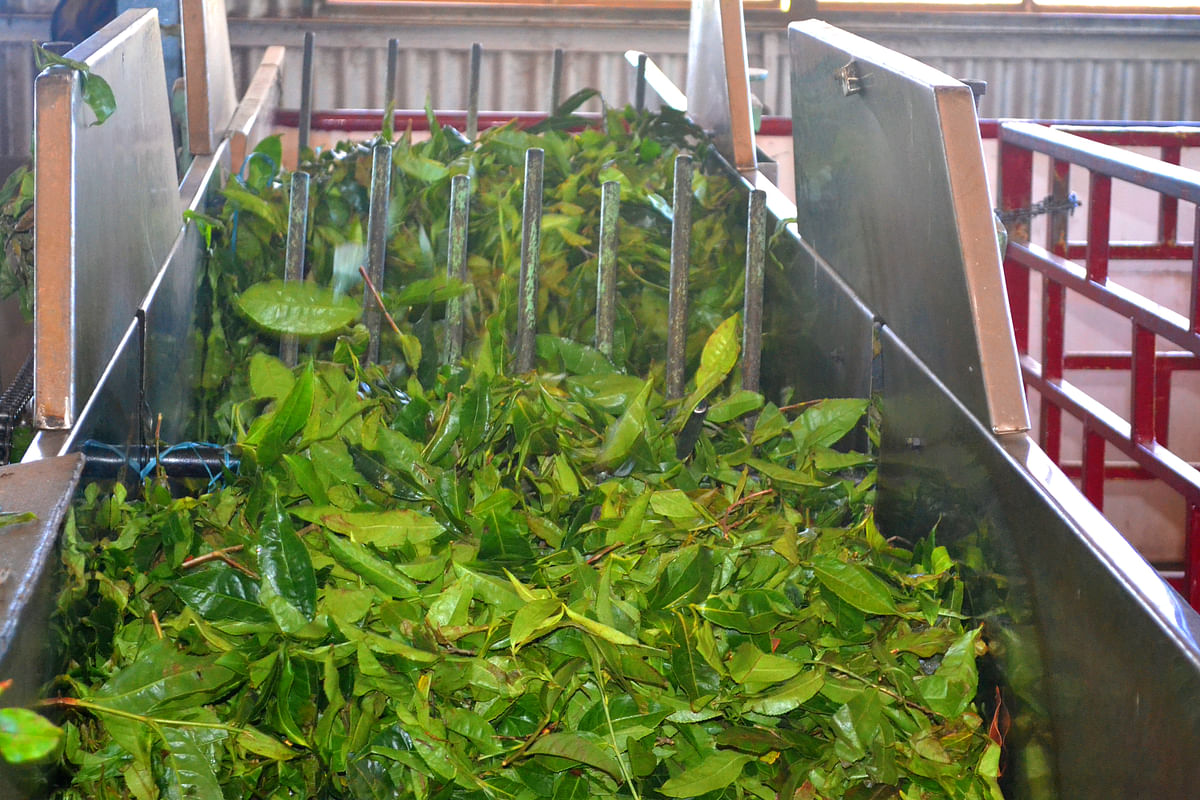 Tea leaves processing at tea factory in Assam. The latest PLI scheme in the food processing factory will expand existing industrial capacity to generate output of processed food worth US$4.4 billion.
