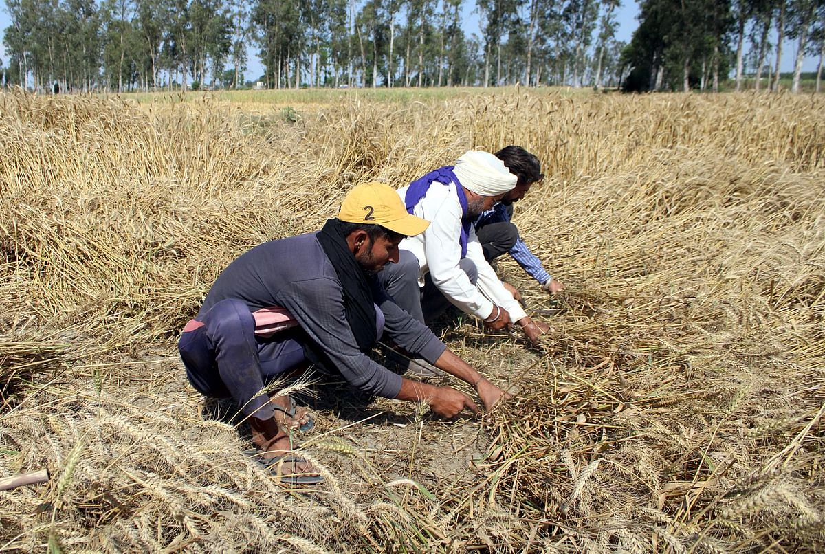Farmers harvesting their crops. If the government's new farm laws had been accepted, it would have led to a windfall income and greater level of food security both for the farmers as well as for the nation.