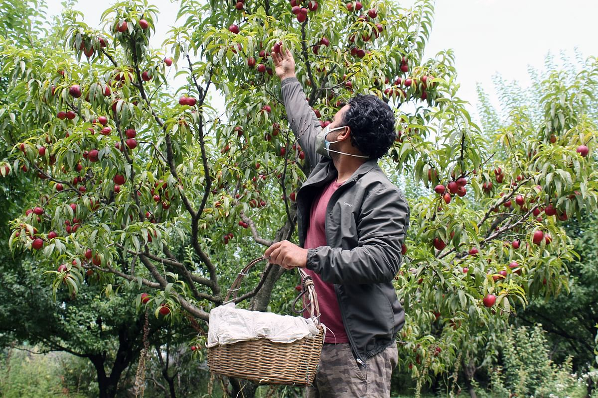 A man plucks peach fruits at Jiya Village, in Kullu, in Himachal Pradesh.