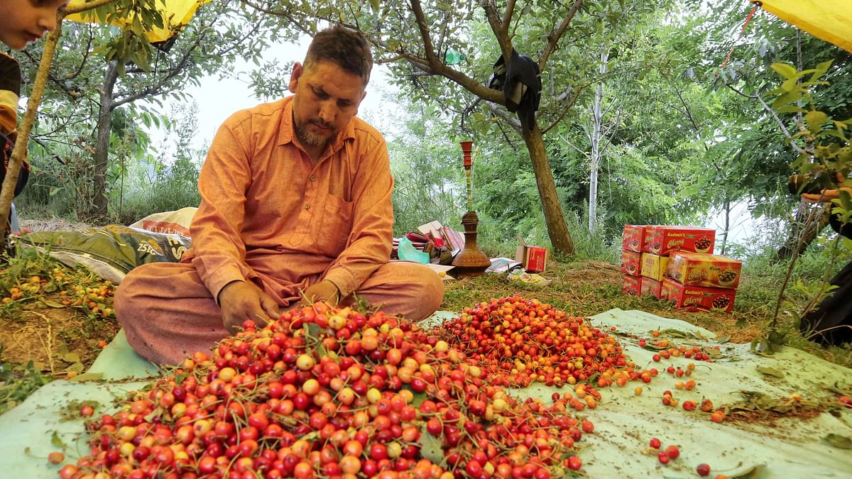 Kashmiri workers select and pack cherries in a garden on the outskirts of Srinagar. In a bid to encourage more such agreements, APEDA has signed a MoU to help cooperatives sell their products globally and build capacities.