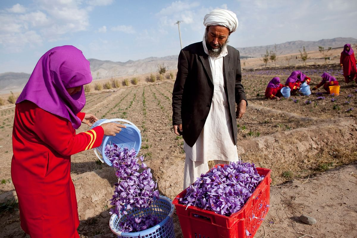 A farm worker plucks saffron flowers in Herat, Afghanistan. Meetings on 'Invest in Afghanistan' business series have so far focused on healthcare, pharmacy, agri-business, infrastructure and information technology.
