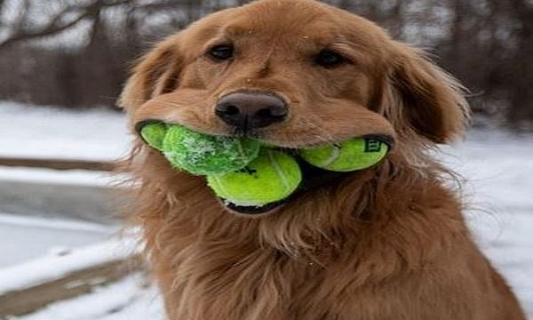 Dog displays unique talent of fitting record number of tennis balls in his mouth