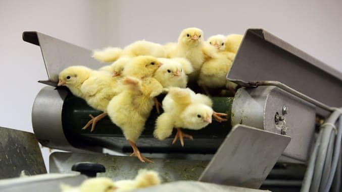 Stop using cruel methods to kill male chicks: Goa govt