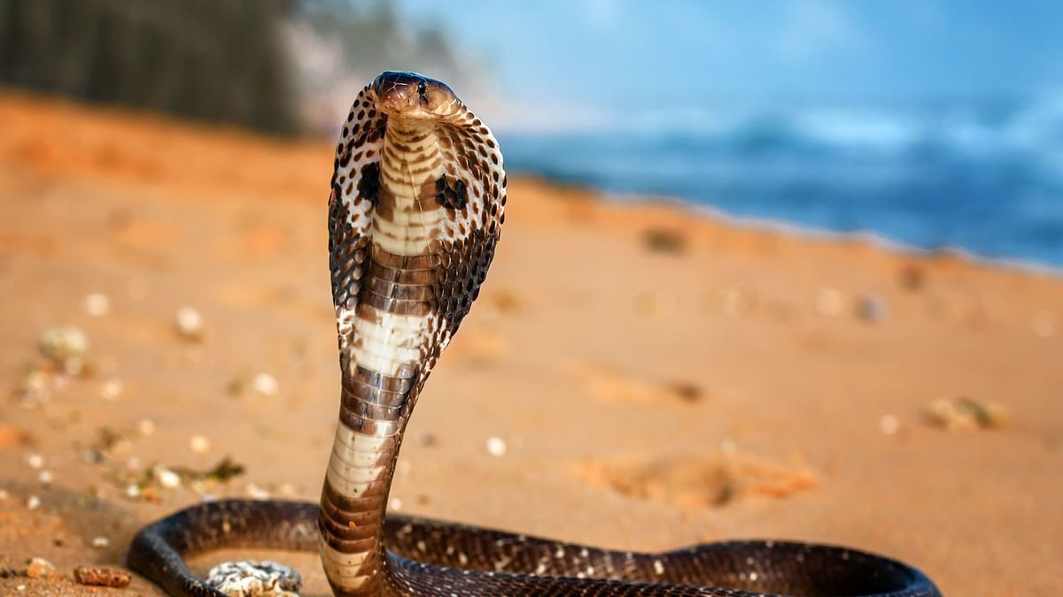 Uninvited cobra slithers into almirah in the comforts of clothes