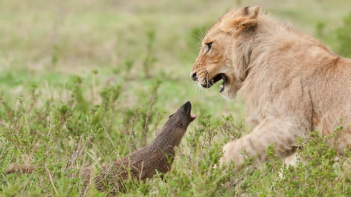 Watch: Honey badger questions a pride of lions, wins their fight