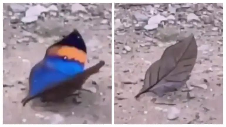 Video: A butterfly looks like a dead leaf when it closes its wings!