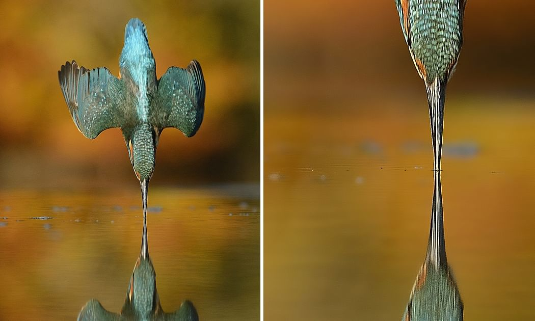 After 6 years & 7,20,000 attempts, wildlife photographer Alan McFadyen got the perfect click he longed for!