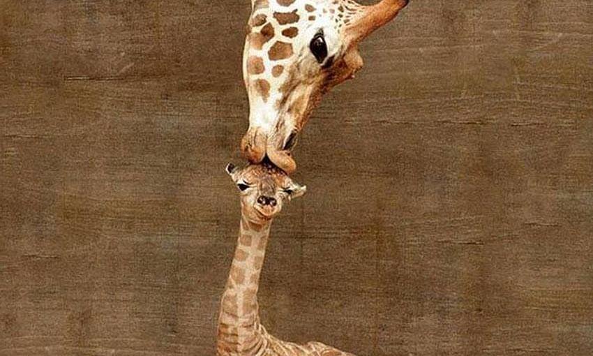 Pic: Giraffe kissing newborn baby calf