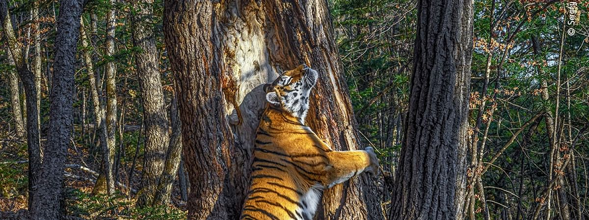 Pic of tigress hugging tree wins wildlife photography award