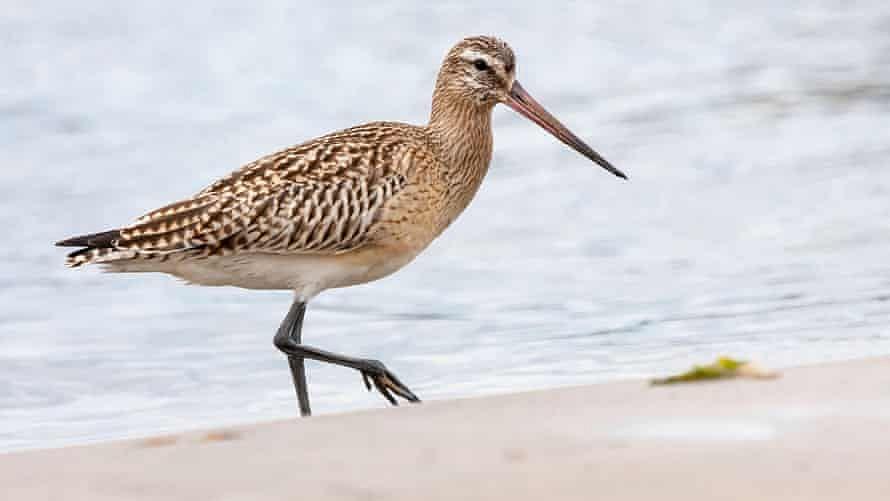 Record breaker: Bird flies 12,000 km non-stop from Alaska to New Zealand, breaks world record