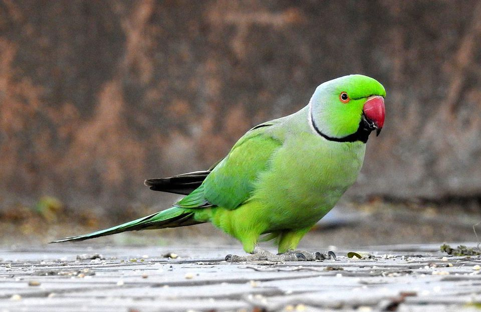 A parrot becomes key witness in a murder of a woman in Argentina