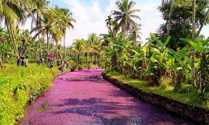 Pictures of pink flowers covering water bodies in Kerala village go viral