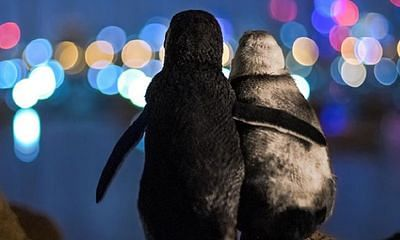Photo of 2 widowed penguins comforting each other wins award in Australia