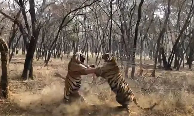 """""""Clash of Titans"""": Forest officer's tiger fight video"""