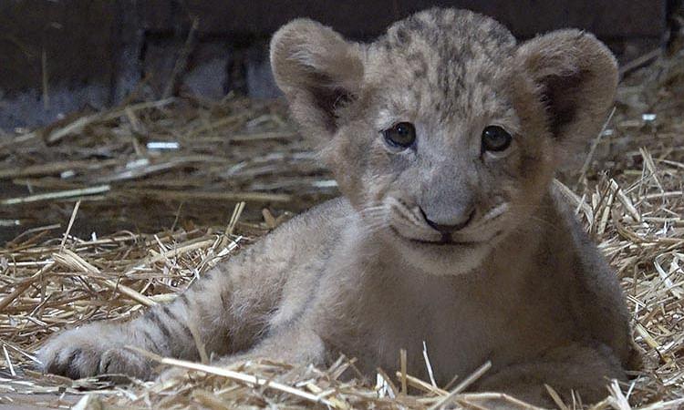 Lion cub, first through artificial insemination, born at Singapore Zoo