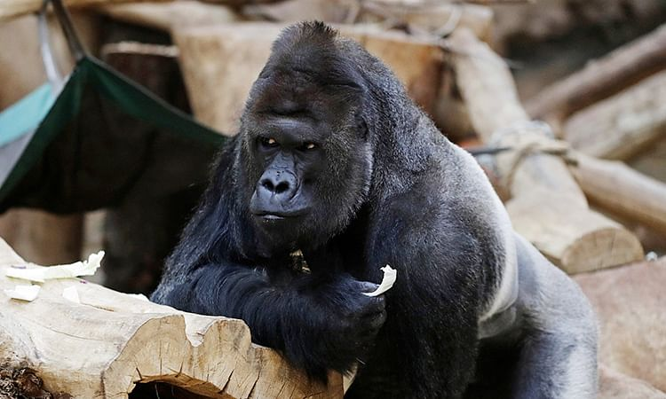Gorilla loses appetite, lions develop cough after catching COVID-19 at Prague Zoo