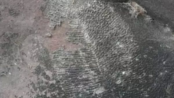 Dickinsonia: India's only fossil of world's oldest animal discovered in Madhya Pradesh