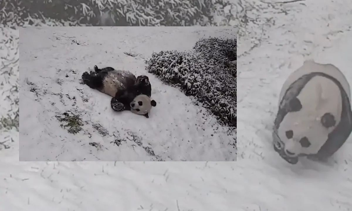 Panda Joy! This adorable video of two pandas sliding and rolling in snow will make your day