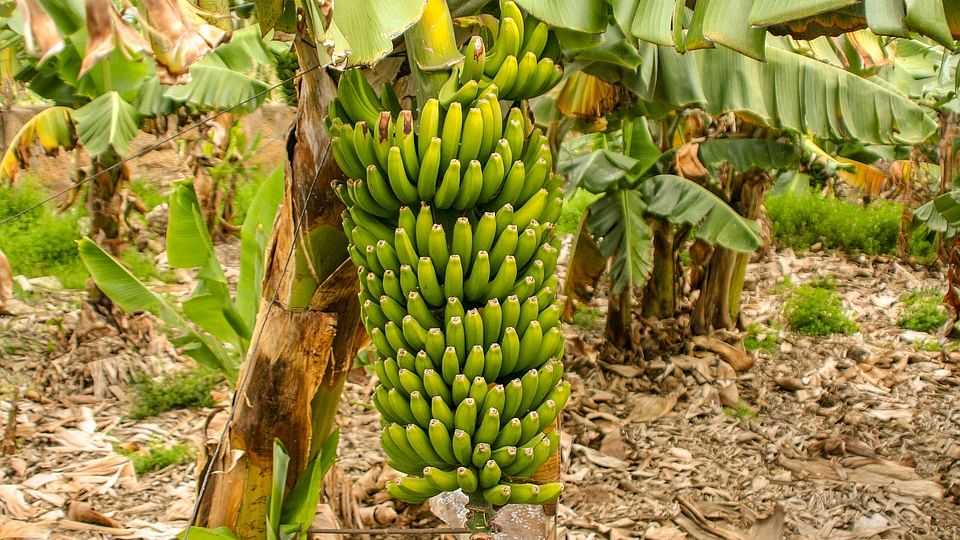 Saudi businesswoman starts a banana farm with 100,000 trees!