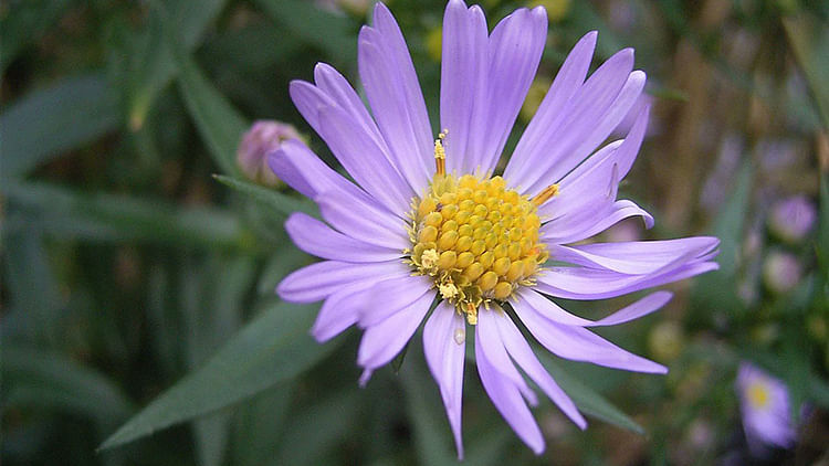 Picture of New York aster flower gets 90 million hits per day in India