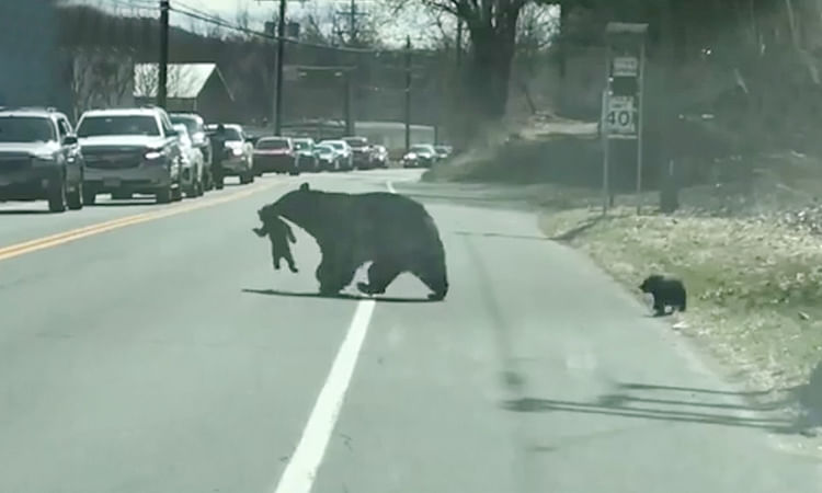 Mother bear's struggle to manage four naughty cubs on busy road moves human parents