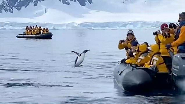 Video: Heroic penguin escapes pod of killer whales by jumping onto boat of cheering tourists