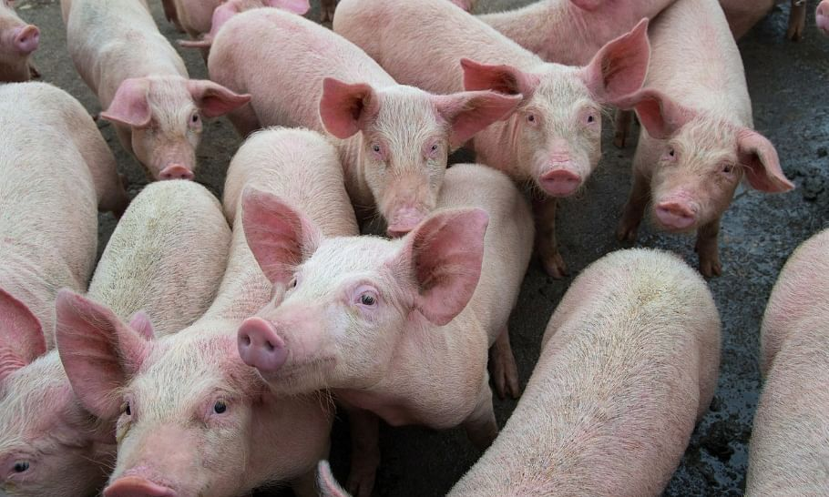 India now in US' list of countries affected by African swine fever