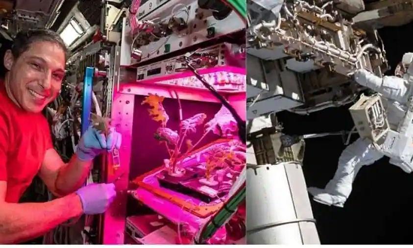 NASA astronauts harvest Amara mustard & extra dwarf pak choi in space