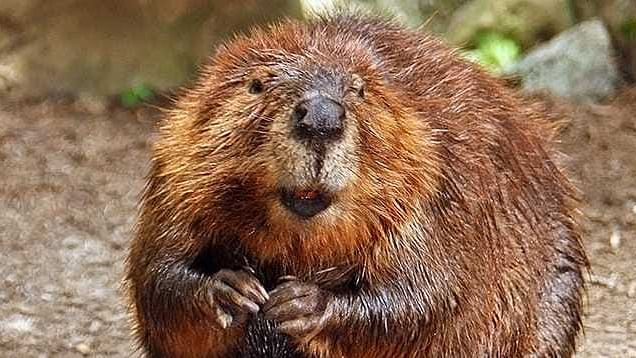 Where does vanilla flavouring come from and what has it got to do with beavers?