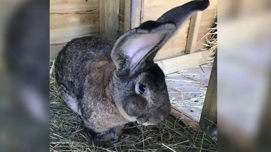 World's biggest rabbit stolen from home in England