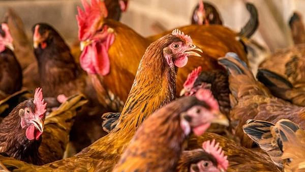 Pune poultry farmer approaches police as hens stop laying eggs