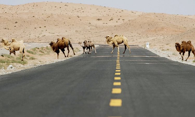 In a world first, Chinese open a traffic signal for camels